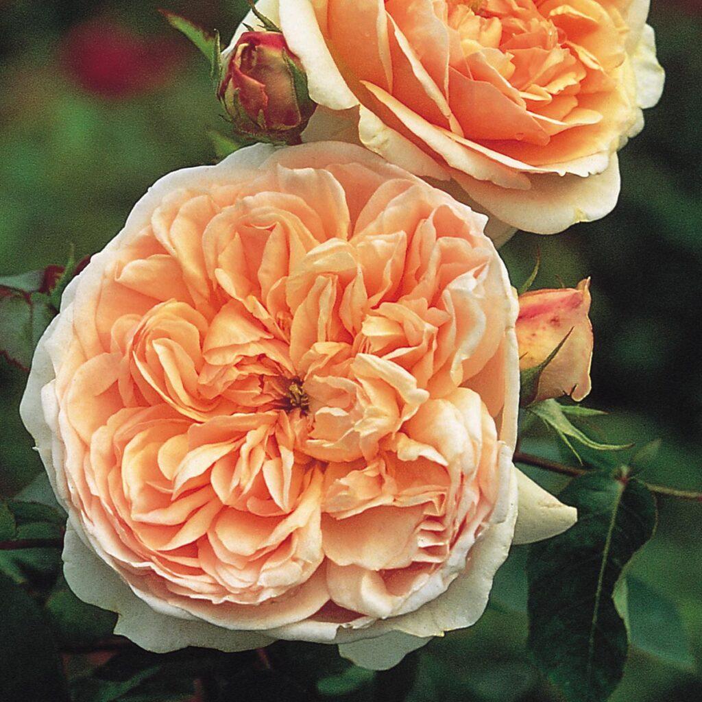 Rose inglesi per matrimonio Melina Mirenghi wedding planner Napoli
