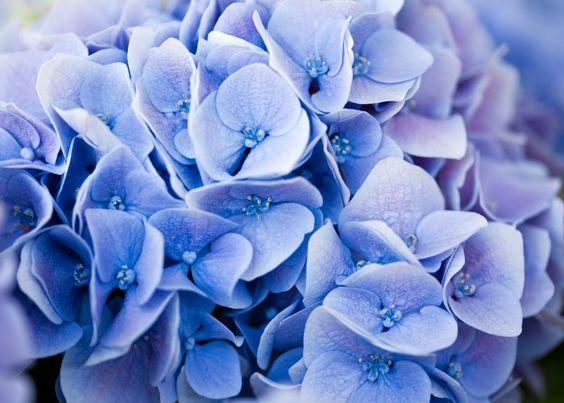 le ortensie blu