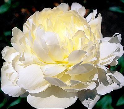 Wedding flowers: la peonia.